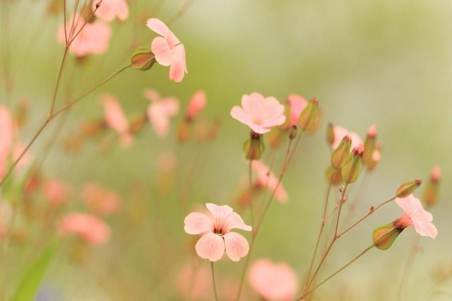 Pequeñas flores silvestres de color rosa