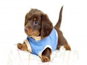 Cachorro marrón con un jersey azul