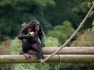 Chimpancé comiendo una fruta