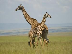 Dos jirafas en el Masái Mara