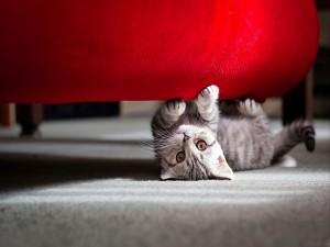 Gato afilando sus uñas bajo el sofá