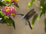 Colibrí libando en unas pequeñas flores