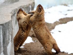 Enfrentamiento entre dos marmotas