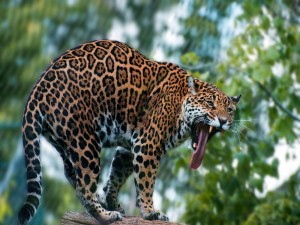 Jaguar sacando la lengua al bostezar