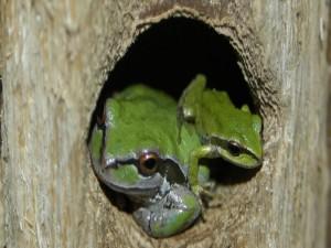 Ranas en el hueco de un árbol