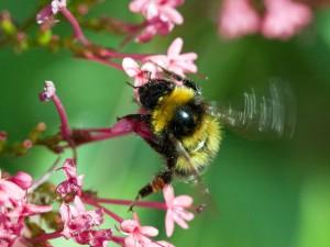 Abeja batiendo sus alas sobre una flor
