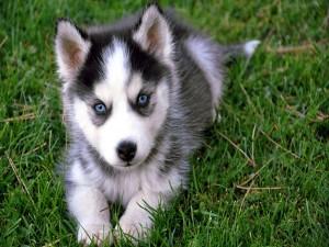 Un cachorro de husky tumbado sobre la hierba