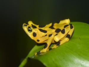 Rana Dorada Panameña (Atelopus zeteki)