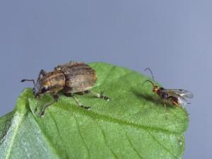 Avispa y escarabajo sobre la misma hoja