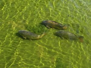 Grandes carpas en un lago
