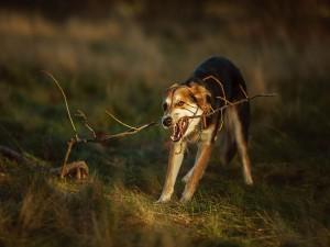 Perro peleando con una rama