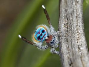 Araña pavo real (Maratus) durante el cortejo