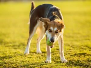 Perro con una pelota de tenis en la boca