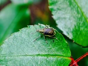 Escarabajo caminando sobre una hoja verde