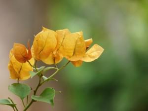 Buganvilla amarilla