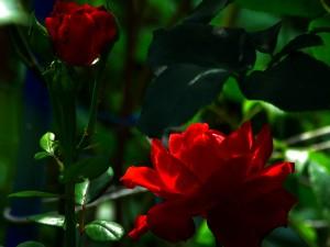 Dos bellas rosas en el rosal