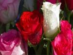 Rosas blanca, rosada y roja con gotas de agua