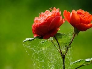 Tela de araña entre dos rosas