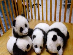 Osos panda bebés