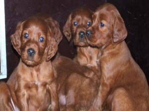 Cachorros de Setter irlandés