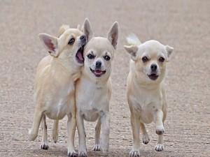 Tres chihuahuas
