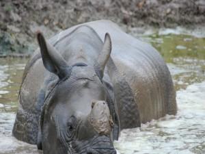 Rinoceronte en el agua