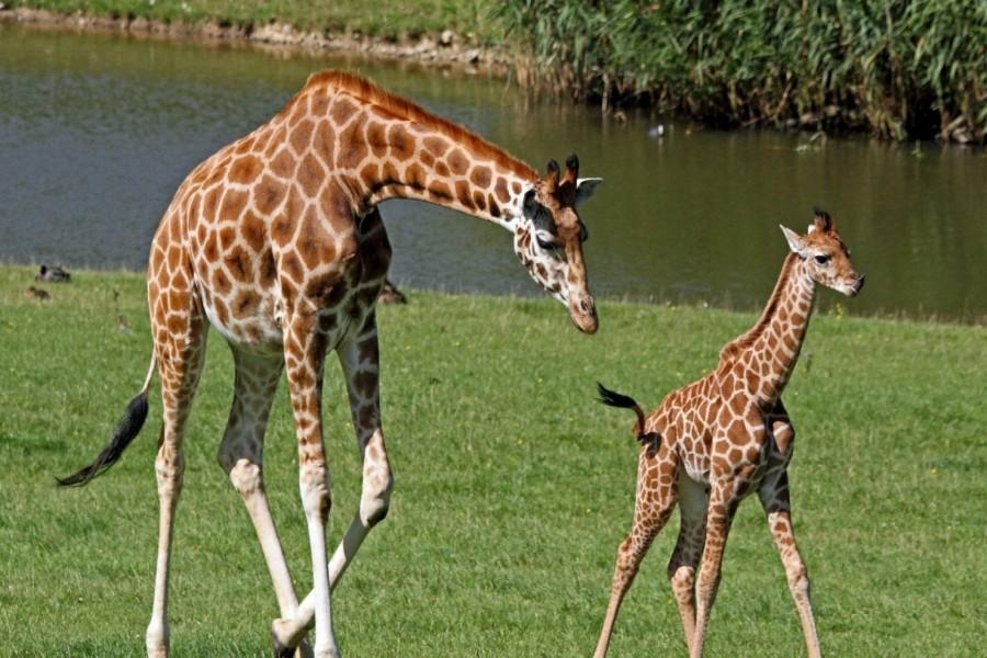 Mamá jirafa junto a su cría