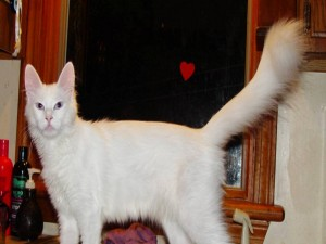 Gato de Angora posando
