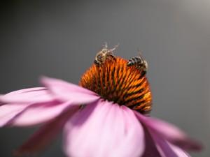 Dos abejas en una misma flor