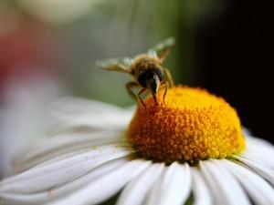 Abeja recolectora sobre una flor