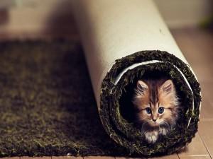 Gatito dentro de una alfombra enrollada