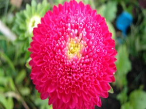 Dalia de color fucsia