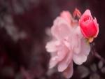 Rosa pequeña junto a una rosa abierta