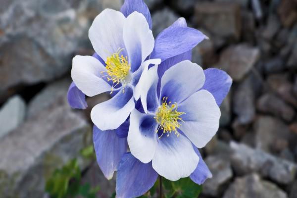 Dos flores azuladas