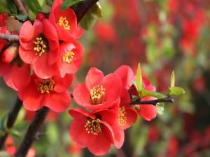Flores rojas en las ramas