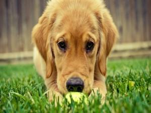 Perro con una pelota sobre el césped