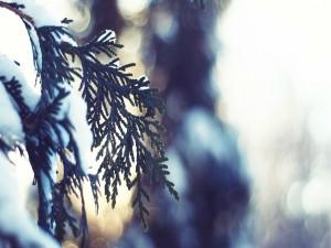 Nieve sobre las ramas de un abeto