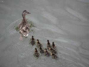 Pata nadando en el río con sus patitos
