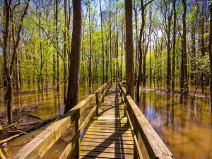 Puente sobre el pantano del bosque
