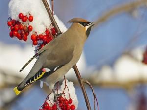 Cardenal hembra sobre una rama con bayas y nieve
