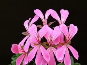 Flores de geranio de color rosa