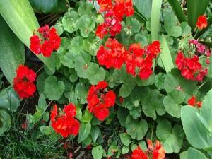 Flores rojas de geranio con sus hojas verdes