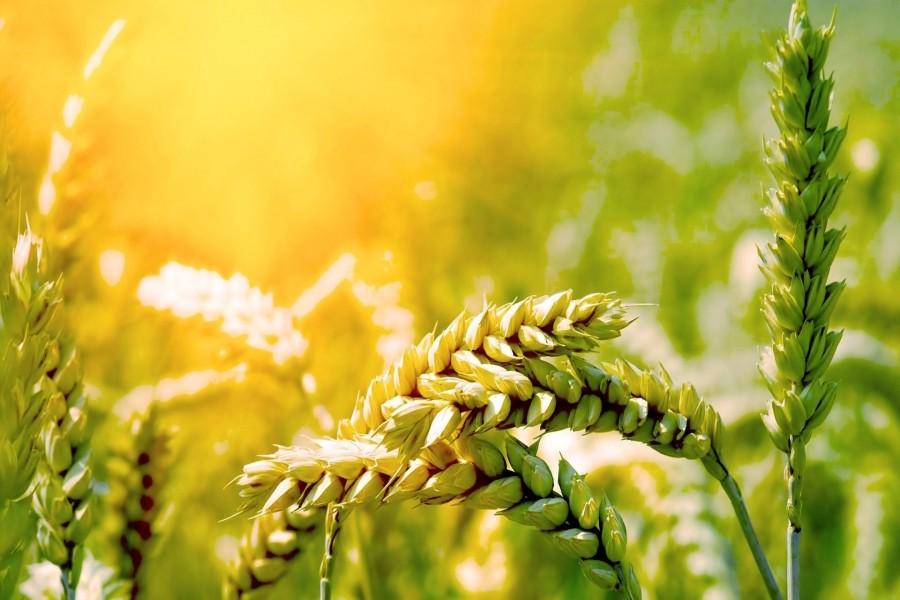Los rayos del sol iluminan el trigo maduro