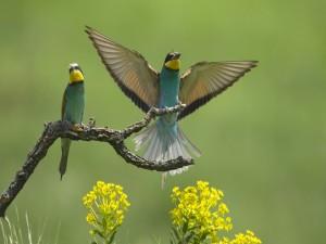 Dos abejarucos en una rama