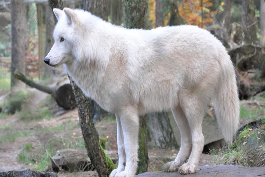 Lobo blanco en el bosque