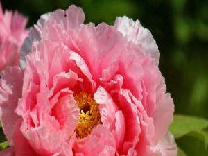 Delicada peonía rosa
