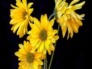 Varias margaritas amarillas