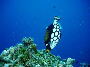 Un bonito pez ballesta (Balistidae)