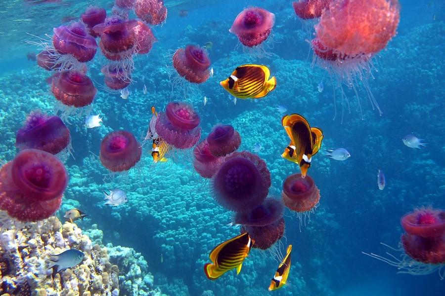 Peces nadando entre medusas rosas