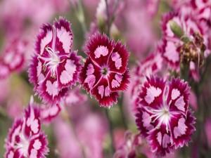 Pequeñas flores con pétalos de color rosa y fucsia